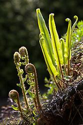 Emerging ferns including Asplenium scolopendrium. Hart's tongue fern