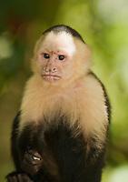 White-faced capuchin, Cebus capucinus. Manuel Antonio National Park, Costa Rica