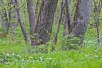 Oak (Quercus robus), anemone, Matsalu Bay Nature Reserve, Estonia
