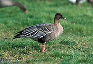 Pink-footed Goose Anser brachyrhynchus L 60-75cm. Similar to Bean Goose, but smaller and more compact; smaller bill is marked with pink. Pink leg colour is diagnostic. In flight, note pale blue-grey back, rump and upperwing coverts, and extent of white on tail. Forms single-species flocks. Sexes are similar. Adult has dark chocolate-brown head and upper neck, grading to buffish brown on breast and belly. Back is blue-grey with pale feather margins. Juvenile is similar but back is buffish and feathers lack clear pale margins; leg and bill colours are dull. Voice Utters nasal, trumpeting cackles; higher pitched than Bean Goose. Status Locally common winter visitor, mainly from Iceland; favours stubble fields and grassland.