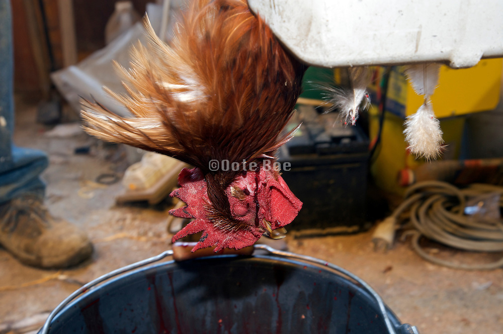 at home slaughtering of chicken