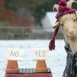 Goat Prediction