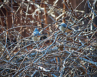 Two Tufted Titmouse. Image taken with a Nikon D3x camera and 80-400 mm VR lens (ISO 400, 400 mm, f/8, 1/200 sec).