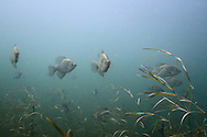 Group of Black Crappie<br /> <br /> Roger Peterson/Engbretson Underwater Photography