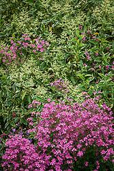 Ligustrum lucidum 'Excelsum Superbum' AGM - Chinese privet -  with Diascia personata