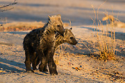 Two spotted hyaena pups, Crocuta crocuta.
