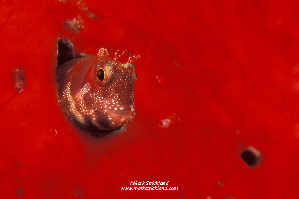 A tiny Blenny peers from its home, an empty wormhole, surrounded by encrusting sponge.  Similan Islands Marine National Park, Thailand, Andaman Sea, Indian Ocean