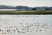 Nederland, Ooijpolder, 7-2-2020 Een grote groep wilde ganzen drijft op het water van een plas, wiel, kolk, dicht bij de rivier de waal, rijn. FOTO: FLIP FRANSSEN