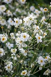 Anemone × hybrida 'Honorine Jobert' AGM (japanese anemone)