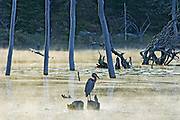 Great blue heron (Ardea herodias) on stump, Rabi Lake <br />