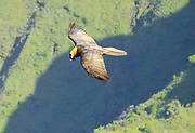 Bird of Prey Hawk in flight in Ethiopia as seen from above
