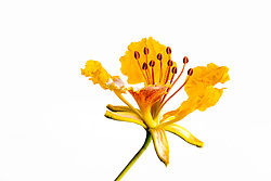 Royal Poinciana -yellow#33