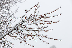 An early January ice storm leaves the bare branches of a fruit tree covered with about a quarter inch of ice.