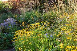 Rudbeckia fulgida var. deamii, Molinia caerulea 'Edith Dudszus' and Aster 'Little Carlow' at Glebe Cottage
