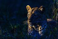 Adult female leopard (Panthera pardus) at dusk,  Inyati Private Game Reserve, South Africa<br /> <br /> Weiblicher Leopard (Panthera pardus) aus dem Inyati Private Game Reserve im Westen des Krueger Nationalparks zu Beginn der Regenzeit im November