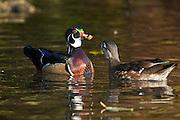 North America, United States, Oregon, Portland, Crystal Springs Rhododendron Garden, Wood Duck pair (Aix sponsa) courtship feeding