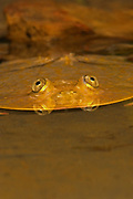 Budgets Frog, Lepidobatrachus laevis Argentina, Bolivia, Paraguay, cold-blooded frogs nature outdoors wild wildlife, flat, eyes, funny, humorous, humour. Budgett's Frog (Lepidobatrachus laevis). Jack Milchanowski. amphibian. amphibians. animal. animals. c