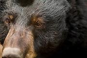 A black bear (Ursus americanus) in Central Oregon during a mild winter.