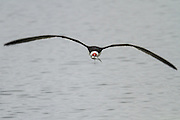 Black Skimmer in flight, carrying dinner (topsmelt) home