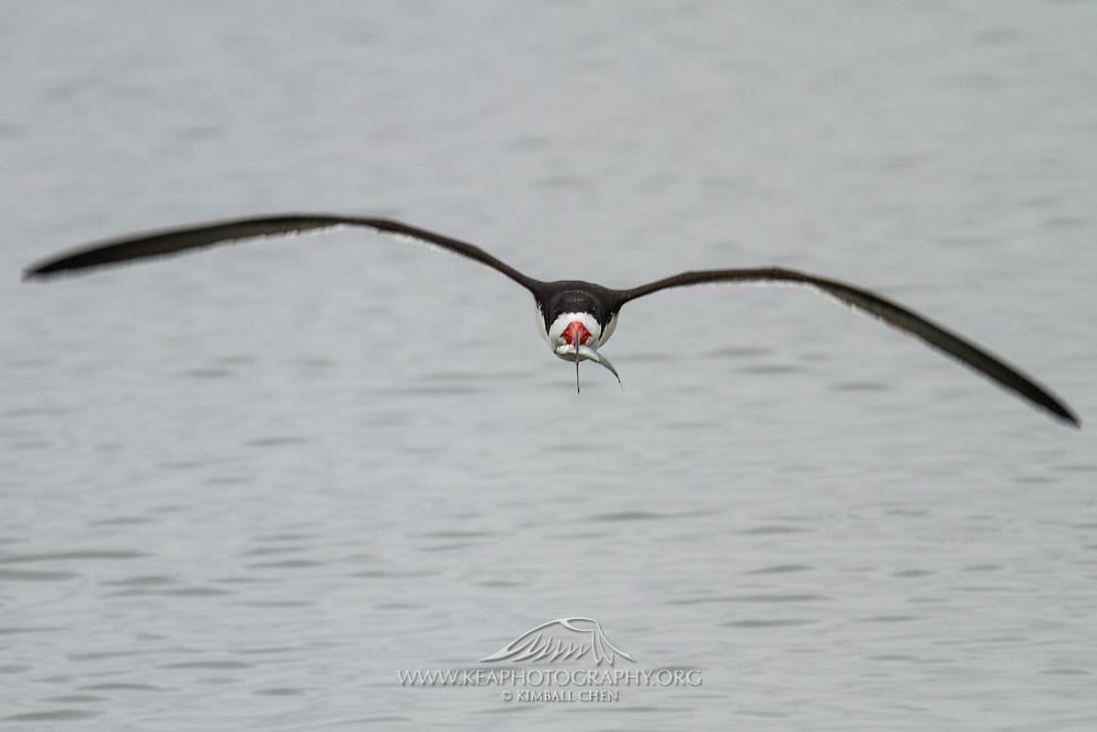 Black Skimmer in flight, carrying dinner (topsmelt) home