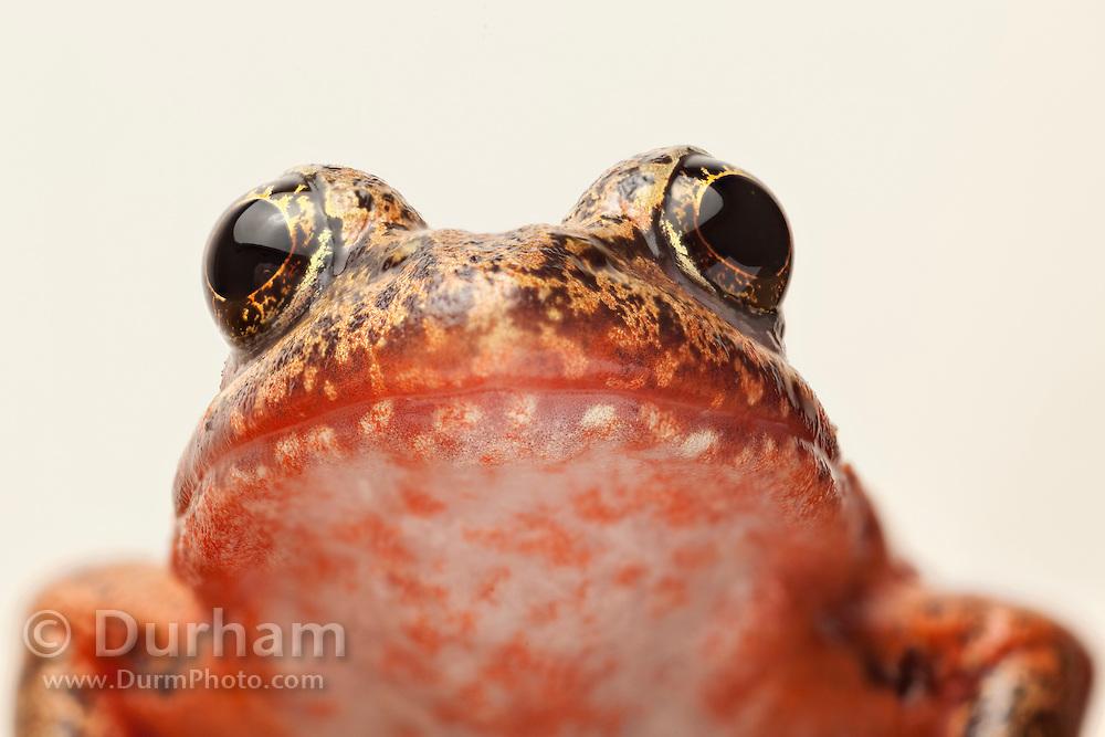 A female red-legged frog (Rana aurora) portrait. Western Oregon. © Michael Durham / www.DurmPhoto.com