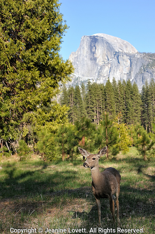White-tailed deer,with yosemite half dome.