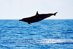 pantropical spotted dolphin leaping, .Stenella attenuata, note it?s tangled with .broken fishing line, possibly from tuna .fishermen, Hawaii (Pacific).