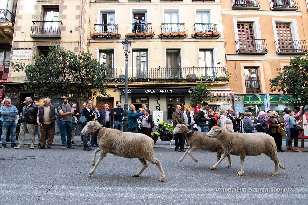Madrid, Spain. 21st October, 2018. Three sheeps running at Mayor Street during transhumance celebrations in Madrid. © Valentin Sama-Rojo