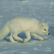 Arctic Fox (Alopex lagopus) Lone fox scavenging on frozen tundra. Churchill, Manitoba. Canada. Winter.