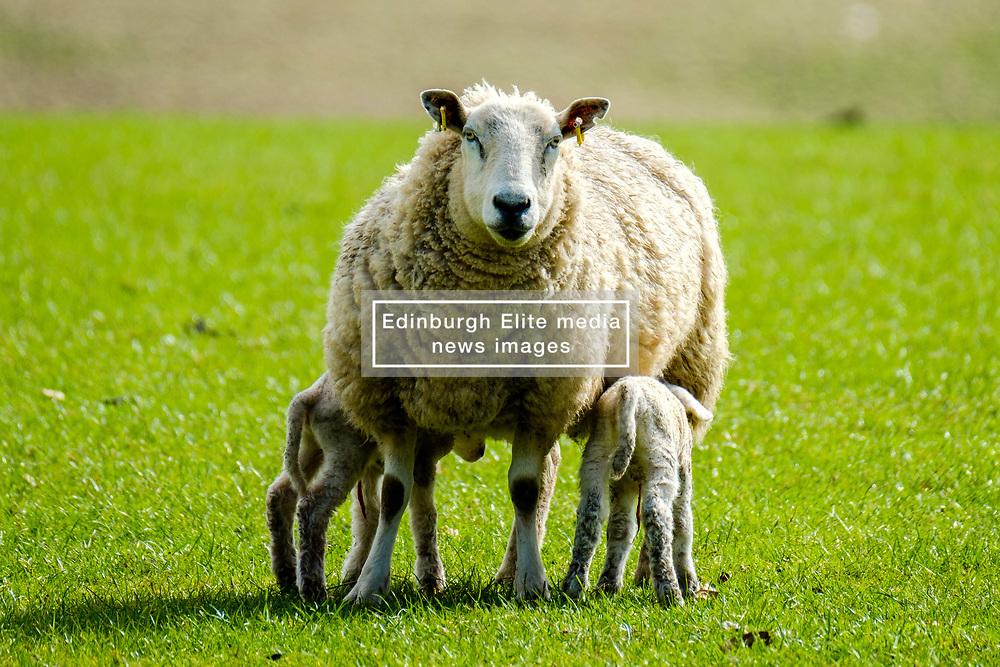 Lambs feeding from their mum on a farm in the Scottish Borders<br /> <br /> (c) Andrew Wilson   Edinburgh Elite media
