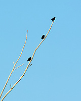 European Starling Sturnus vulgaris). Image taken with a Nikon D3s camera and 200 mm f/2.0 VR lens and 2.0x TC-E teleconverter.