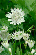 ASTRANTIA Astrantia major (Apiaceae) Height to 80cm<br /> Upright, hairless perennial. Found in woods and grassland. FLOWERS are small and pale pinkish; borne in dense umbels, fringed by pale bracts that are tinged with green and red, the whole 2-3cm across (Jun-Aug). FRUITS are cylindrical. LEAVES are toothed, deeply pinnately lobed and long-stalked. STATUS-Introduced and naturalised locally.