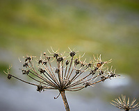 Seed Pods in Wrangell. Image taken with a Nikon D300 camera and 70-300 mm VR lens.