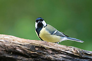 A great tit perching on a tree, Parus major, Slovenia.