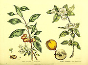 Pyrus baccata [Siberian Crab] Pyrus cydonia [Pear-Shaped Quince] from Vol II of the book The universal herbal : or botanical, medical and agricultural dictionary : containing an account of all known plants in the world, arranged according to the Linnean system. Specifying the uses to which they are or may be applied By Thomas Green,  Published in 1816 by Nuttall, Fisher & Co. in Liverpool and Printed at the Caxton Press by H. Fisher