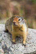 Ground Squirrel, Montana.