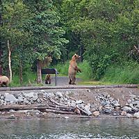 USA, Alaska, Katmai. Grizzly sow and cubs near partk sign.