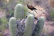 Harris Hawks (Parabuteo unicinctus) feeding nestlings; Sonoran Desert, Arizona
