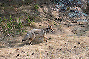 Wildlife Photographs of Coyote and Buffalo