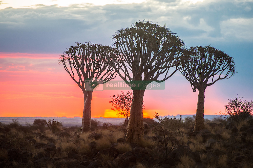 March 3, 2015 - Keetmanshoop, South Africa - Keetmanshoop, Namibia - Quiver tree forest silhouetted at dusk in the Playground of the Giants (Credit Image: © Edwin Remsberg/VW Pics via ZUMA Wire)