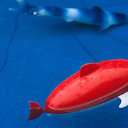 Red fish float on water
