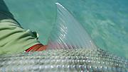 Bonefish dorsal displays opaque perfection.