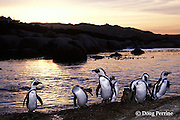 South African penguins or jackass penguins, Spheniscus demersus, Boulder Beach, Simons Town; Cape of Good Hope, South Africa