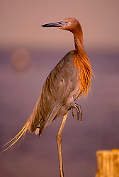 Stock photo of a Reddish Egret (Egretta rufescens) standing on one leg at sunset