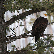 Bald eagle (Haliaeetus leucocephalus) perched in a tree along the Madison River in Yellowstone National Park.