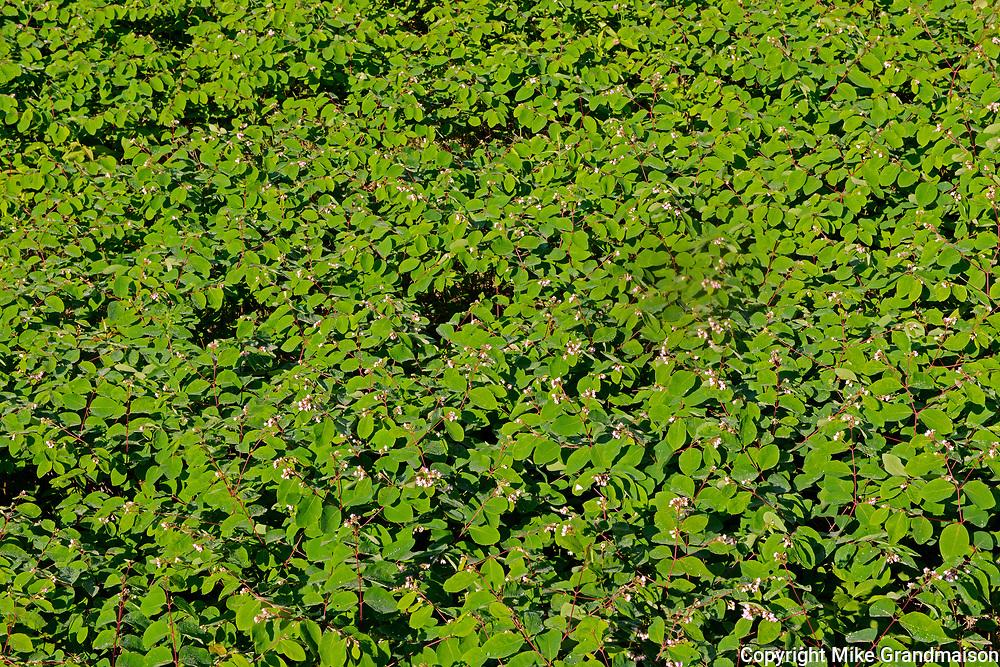 Spreading dogbane (Apocynum androsaemifolium) growing at Blindfold Lake<br />Near Kenora<br />Ontario<br />Canada