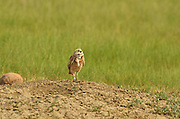 A burrowing owl on a black-tailed prairie dog mound keeps an eye out for a hawk flying overhead At American Prairie Reserve in the Great Plains of Montana. South of Malta in Philips County, Montana.