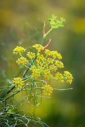 Foeniculum vulgare - Common fennel, Fenkell, Finckle <br /> Finkel, Sabbath day posy