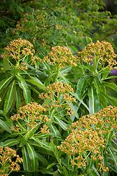 Euphorbia mellifera, Canary Spurge AGM