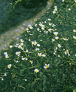 STREAM WATER-CROWFOOT Ranunculus pencillatus (Ranunculaceae) Floating. Annual or perennial of fast-flowing chalk streams and rivers. FLOWERS are 15-25mm across with 5 white petals (May-Jul). FRUITS are borne in rounded heads. LEAVES comprise lobed, rounded floating leaves and long, thread-like submerged ones that collapse out of water.